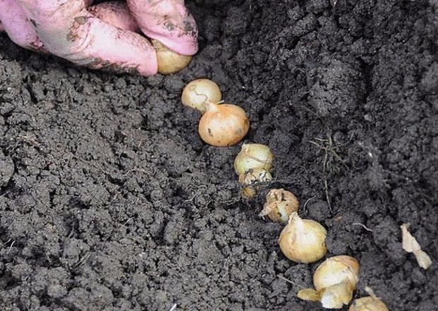Когда лучше сажать лук на головку весной или осенью 26